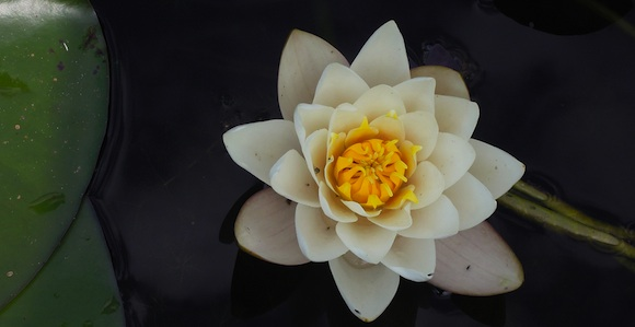 photo of a water lily illustration for donation ideas for keren gefen